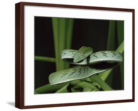 Long-Nose Vine Snake (Ahaetulla Prasina), in Captivity, from Southeast Asia, Asia-James Hager-Framed Art Print
