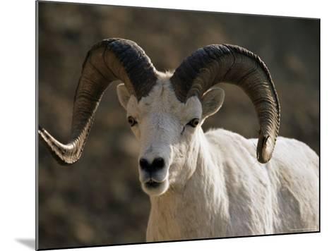 Male Dall Sheep (Ovis Dalli), Denali National Park, Alaska, United States of America, North America-James Hager-Mounted Photographic Print