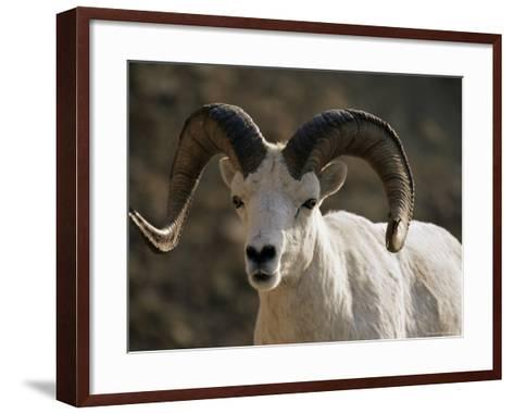 Male Dall Sheep (Ovis Dalli), Denali National Park, Alaska, United States of America, North America-James Hager-Framed Art Print
