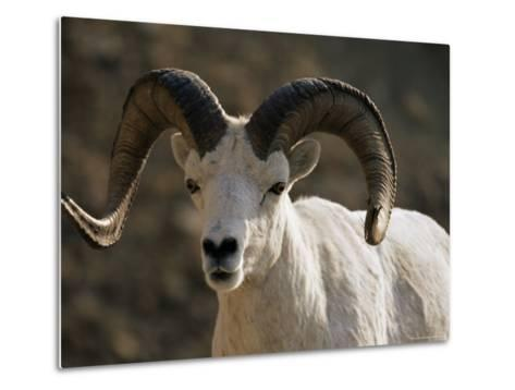 Male Dall Sheep (Ovis Dalli), Denali National Park, Alaska, United States of America, North America-James Hager-Metal Print