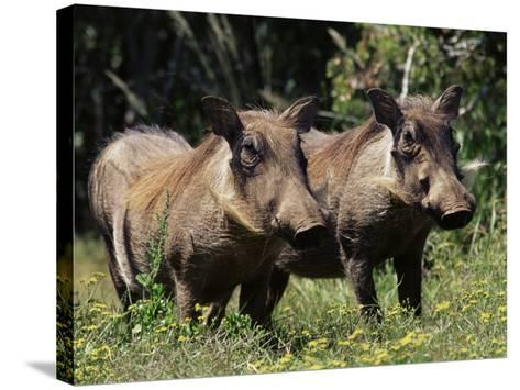 Warthogs (Phacochoerus Aethiopicus), Addo Elephant National Park, South Africa, Africa-James Hager-Stretched Canvas Print
