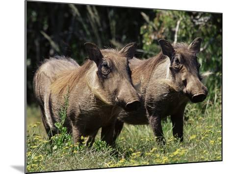 Warthogs (Phacochoerus Aethiopicus), Addo Elephant National Park, South Africa, Africa-James Hager-Mounted Photographic Print