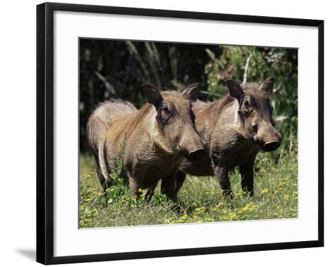 Warthogs (Phacochoerus Aethiopicus), Addo Elephant National Park, South Africa, Africa-James Hager-Framed Art Print