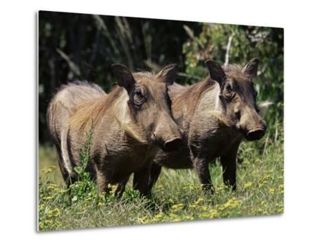 Warthogs (Phacochoerus Aethiopicus), Addo Elephant National Park, South Africa, Africa-James Hager-Metal Print