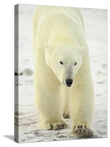 Polar Bear (Thalarctos Maritimus), Churchill, Manitoba, Canada, North America-James Hager-Stretched Canvas Print