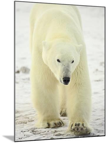 Polar Bear (Thalarctos Maritimus), Churchill, Manitoba, Canada, North America-James Hager-Mounted Photographic Print