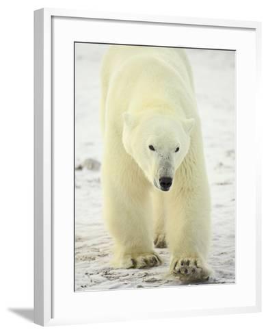 Polar Bear (Thalarctos Maritimus), Churchill, Manitoba, Canada, North America-James Hager-Framed Art Print
