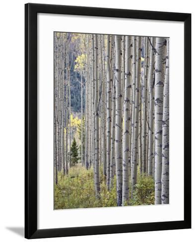 Aspen Grove with Early Fall Colors, Maroon Lake, Colorado, United States of America, North America-James Hager-Framed Art Print