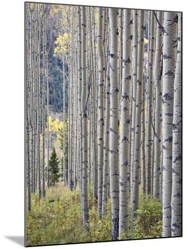 Aspen Grove with Early Fall Colors, Maroon Lake, Colorado, United States of America, North America-James Hager-Mounted Photographic Print