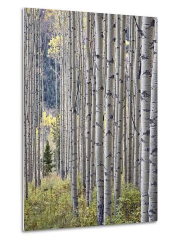 Aspen Grove with Early Fall Colors, Maroon Lake, Colorado, United States of America, North America-James Hager-Metal Print