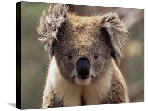 Koala Bear (Phascolarctos Cinereus), Phillip Island, Victoria, Australia, Pacific-James Hager-Stretched Canvas Print