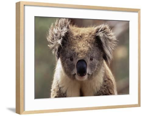 Koala Bear (Phascolarctos Cinereus), Phillip Island, Victoria, Australia, Pacific-James Hager-Framed Art Print