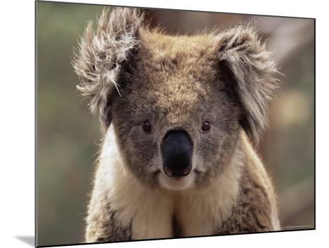 Koala Bear (Phascolarctos Cinereus), Phillip Island, Victoria, Australia, Pacific-James Hager-Mounted Photographic Print