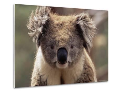 Koala Bear (Phascolarctos Cinereus), Phillip Island, Victoria, Australia, Pacific-James Hager-Metal Print