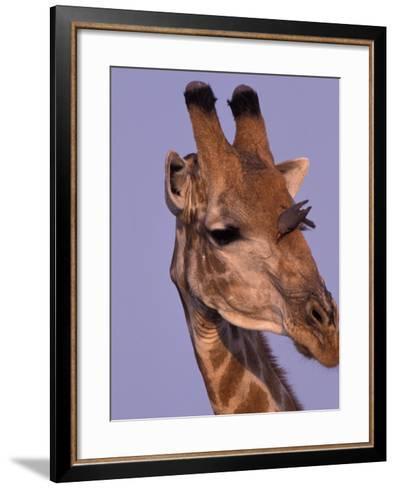 Reticulated Giraffe and Oxpeckers, Ngamiland, Okavango Delta, Botswana-Art Wolfe-Framed Art Print