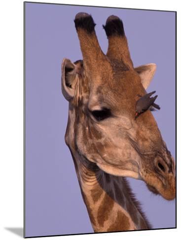 Reticulated Giraffe and Oxpeckers, Ngamiland, Okavango Delta, Botswana-Art Wolfe-Mounted Photographic Print