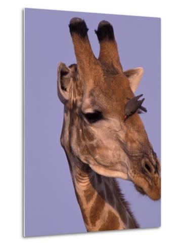 Reticulated Giraffe and Oxpeckers, Ngamiland, Okavango Delta, Botswana-Art Wolfe-Metal Print
