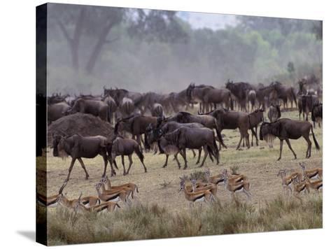 Herds of Gazelle, Zebra, Wildebeest, Topi, Masai Mara Game Reserve, Kenya-Art Wolfe-Stretched Canvas Print