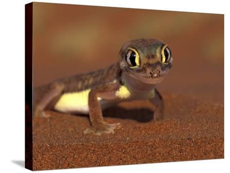 Web-footed Gecko, Namib National Park, Namibia-Art Wolfe-Stretched Canvas Print