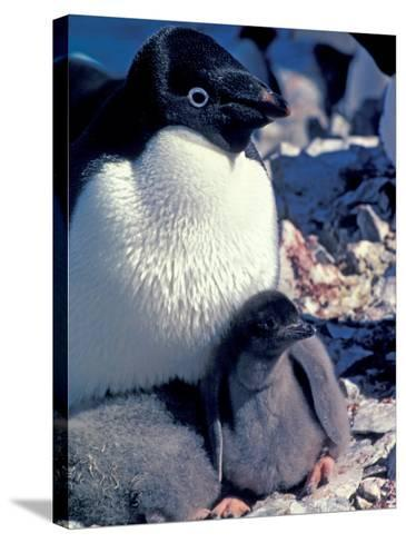 Adelie Penguin on Nest with Chick, Antarctica-Art Wolfe-Stretched Canvas Print