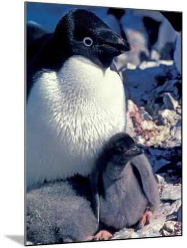 Adelie Penguin on Nest with Chick, Antarctica-Art Wolfe-Mounted Photographic Print