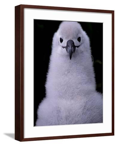 Grey-headed Albatross Chick, South Georgia Island, Antarctica-Art Wolfe-Framed Art Print