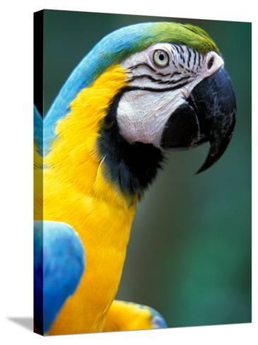 Blue and Yellow Macaw, Iguacu National Park, Bolivia-Art Wolfe-Stretched Canvas Print