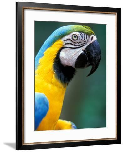 Blue and Yellow Macaw, Iguacu National Park, Bolivia-Art Wolfe-Framed Art Print