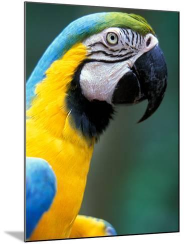 Blue and Yellow Macaw, Iguacu National Park, Bolivia-Art Wolfe-Mounted Photographic Print