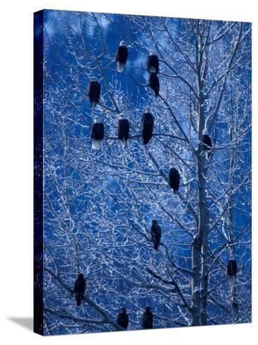 Bald Eagle Roosting in Cottonwoods, Chilkat River, Alaska, USA-Art Wolfe-Stretched Canvas Print