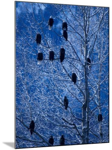 Bald Eagle Roosting in Cottonwoods, Chilkat River, Alaska, USA-Art Wolfe-Mounted Photographic Print