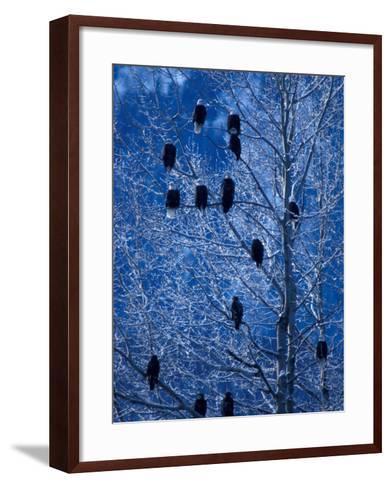 Bald Eagle Roosting in Cottonwoods, Chilkat River, Alaska, USA-Art Wolfe-Framed Art Print