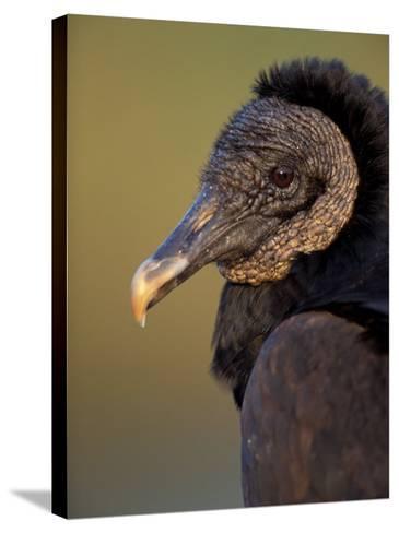 Black Vulture, Everglades National Park, Florida, USA-Art Wolfe-Stretched Canvas Print