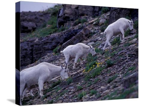 Mountain Goat, Glacier National Park, Montana, USA-Art Wolfe-Stretched Canvas Print
