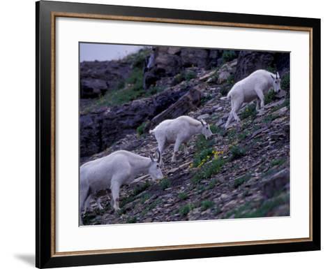 Mountain Goat, Glacier National Park, Montana, USA-Art Wolfe-Framed Art Print
