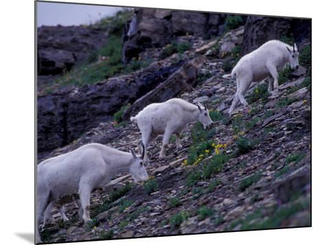 Mountain Goat, Glacier National Park, Montana, USA-Art Wolfe-Mounted Photographic Print