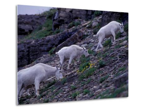 Mountain Goat, Glacier National Park, Montana, USA-Art Wolfe-Metal Print