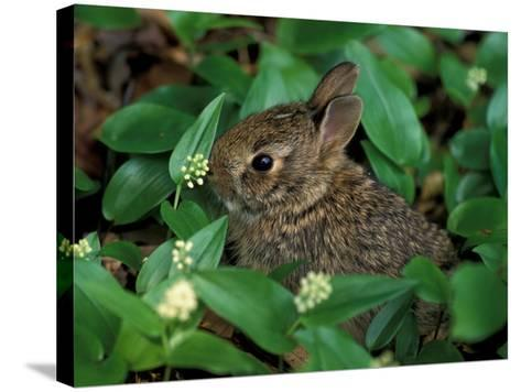 Immature Cottontail Rabbit, New York, USA-Art Wolfe-Stretched Canvas Print