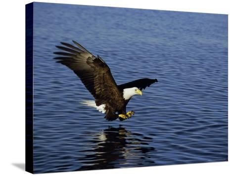 Bald Eagle (Haliaetus Leucocephalus) in February, Alaska, USA-David Tipling-Stretched Canvas Print