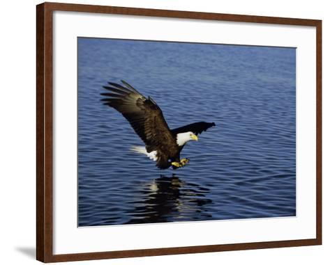 Bald Eagle (Haliaetus Leucocephalus) in February, Alaska, USA-David Tipling-Framed Art Print