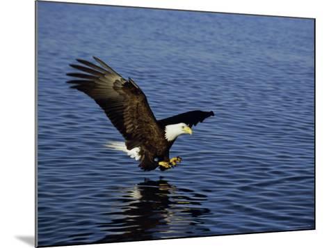 Bald Eagle (Haliaetus Leucocephalus) in February, Alaska, USA-David Tipling-Mounted Photographic Print