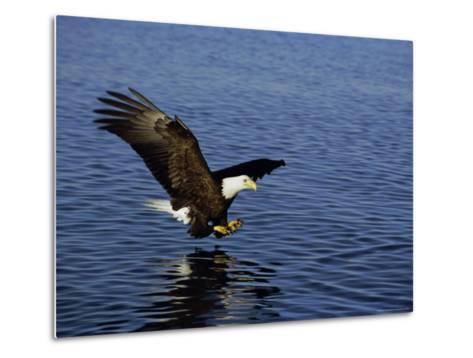 Bald Eagle (Haliaetus Leucocephalus) in February, Alaska, USA-David Tipling-Metal Print