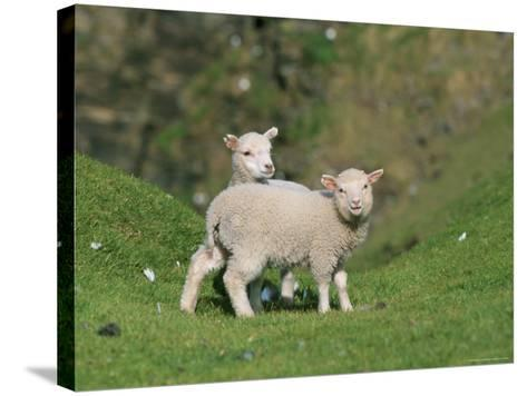 Two Lambs in June, Shetland Islands, Scotland, UK, Europe-David Tipling-Stretched Canvas Print