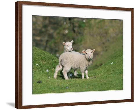 Two Lambs in June, Shetland Islands, Scotland, UK, Europe-David Tipling-Framed Art Print