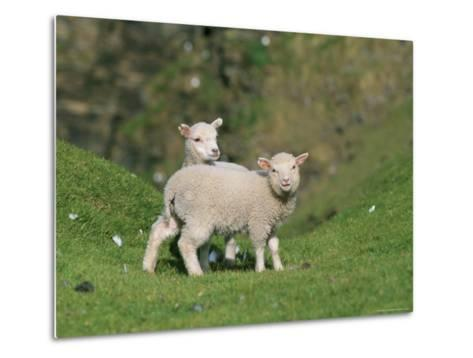 Two Lambs in June, Shetland Islands, Scotland, UK, Europe-David Tipling-Metal Print