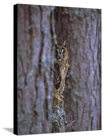 Long Eared Owl (Asio Otus) in Winter, Scotland, UK, Europe-David Tipling-Stretched Canvas Print