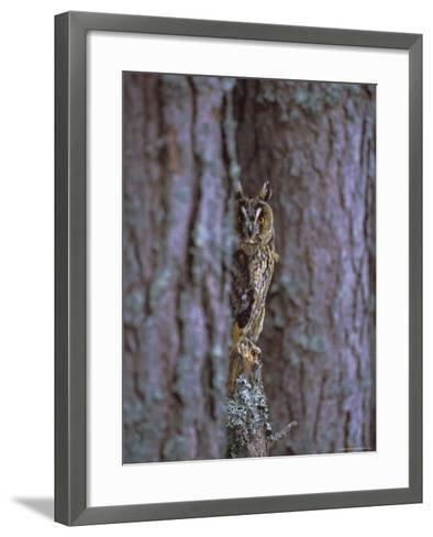 Long Eared Owl (Asio Otus) in Winter, Scotland, UK, Europe-David Tipling-Framed Art Print