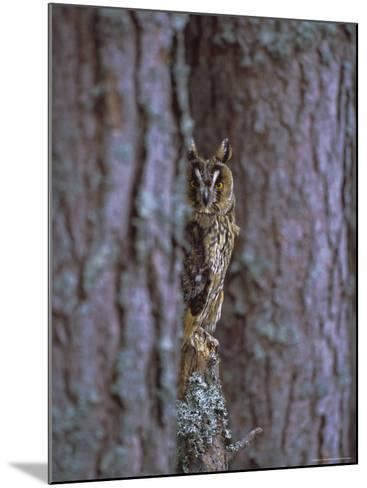 Long Eared Owl (Asio Otus) in Winter, Scotland, UK, Europe-David Tipling-Mounted Photographic Print