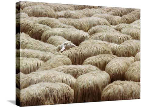 Flock of Sheep, Sardinia, Italy, Mediterranean, Europe-Oliviero Olivieri-Stretched Canvas Print