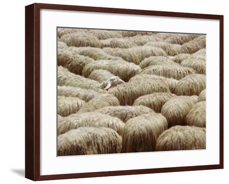 Flock of Sheep, Sardinia, Italy, Mediterranean, Europe-Oliviero Olivieri-Framed Art Print